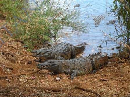 Crocodiles du Lac Anivorano